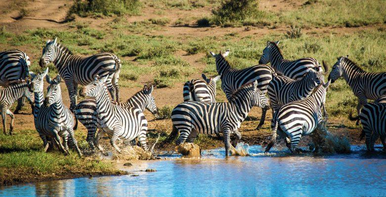 Zebras Ambosel