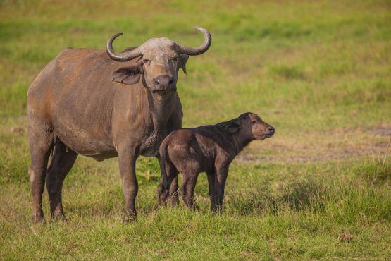 african buffalo (cape buffalo) with calf, amboseli national park, kenya, africa