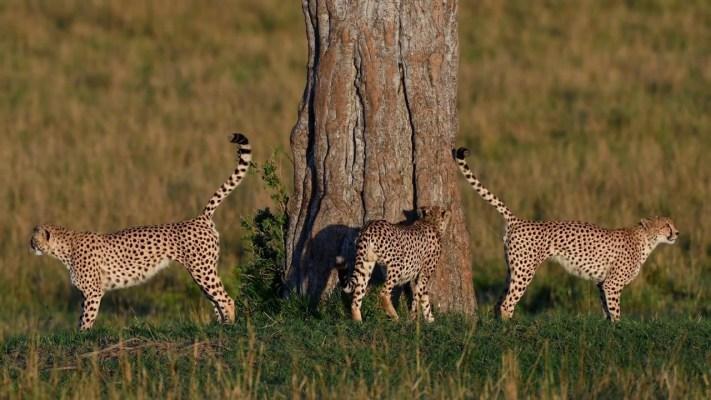 cheetahs claiming teritory