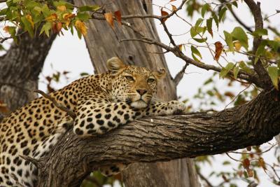leopard_p.meier_