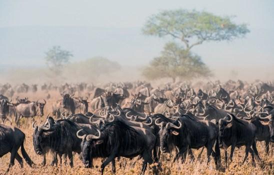 wildebeest-migration] (2)