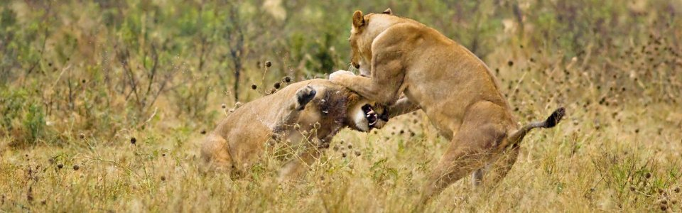 lions-fighting.jpg