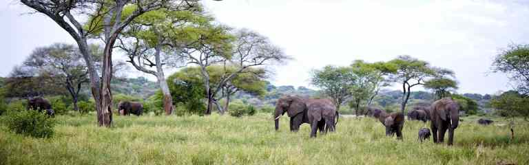 Tarangire National Park Elephants Herd