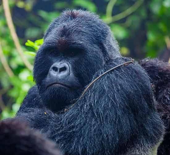 10-Days-Rwanda-Gorilla-and-Tanzania-Migration-Safari.
