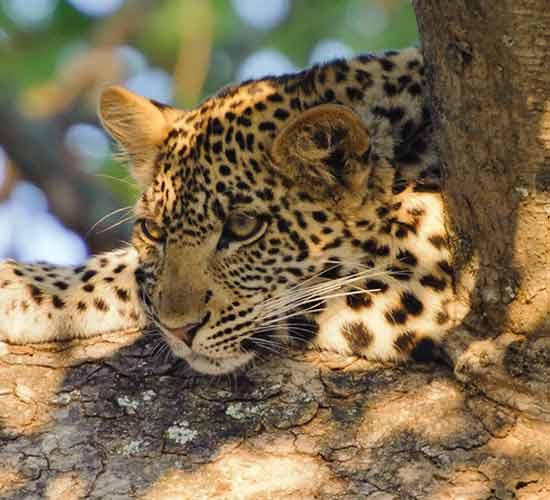 12-Days-Enchanting-Gorilla-&-Big-Cats-Experience-in-Uganda-&-Tanzania.