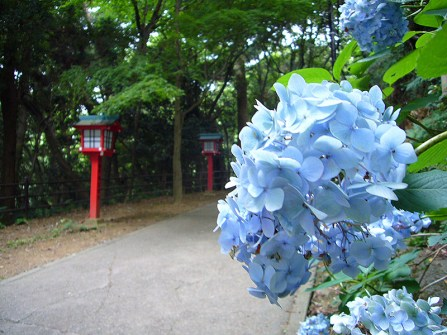 Blue hydrangea and red lantern