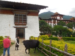 Cow chilling at the entrance to the dzong