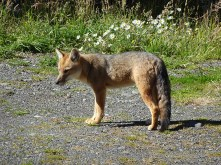 A wild fox we found wandering the car park
