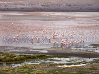 Flamingos in the red lagoon