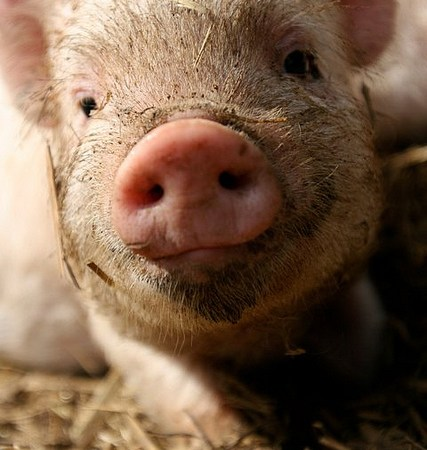 Piglet - antibiotics in food - what you need to know - media dietitian Christy Brissette 80 Twenty Nutrition