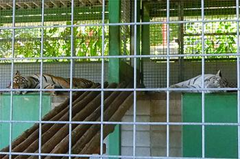 しろとり動物園・トラ