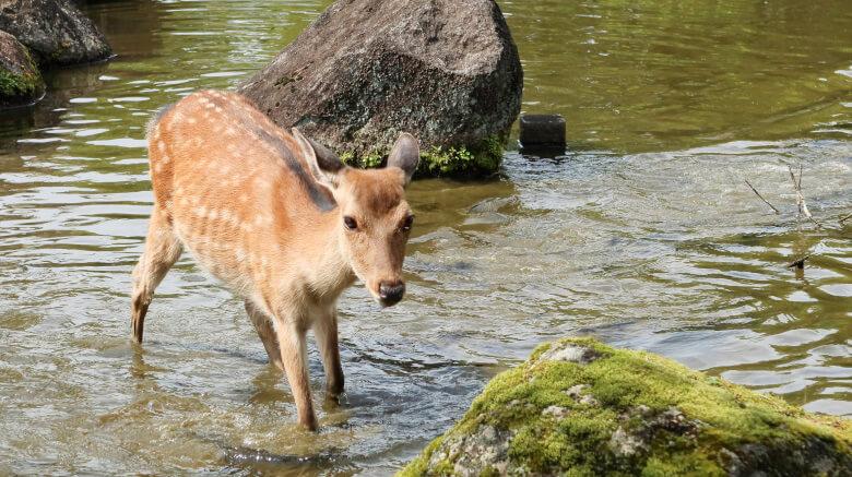 池に入るシカ