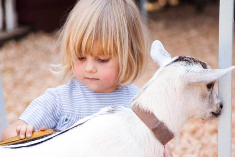 Little ones can cuddle up with the friendly goats at Beacon Hill Park's Children's Farm. Photo: Tourism Victoria