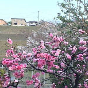 庭の桃と公園の桜