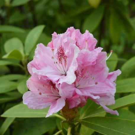 A pink flower.