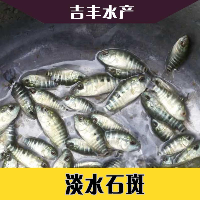 淡水石斑 - 新會區司前鎮吉豐水產養殖場