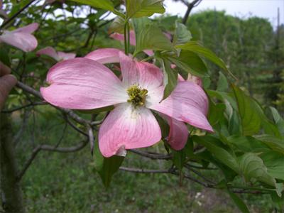 ハナミズキ 赤花