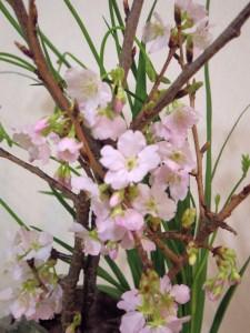 ケイオウ桜