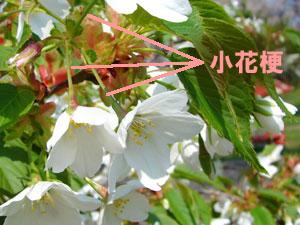 花梗(かこう) | 寫真でわかる園蕓用語集|見て納得 ...