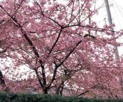 池袋キャバクラはちみつくろーばー なゆ 梅の花