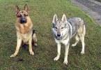 Волк и собака