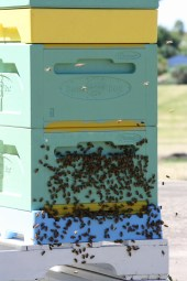 Bees cooling down on front of hive