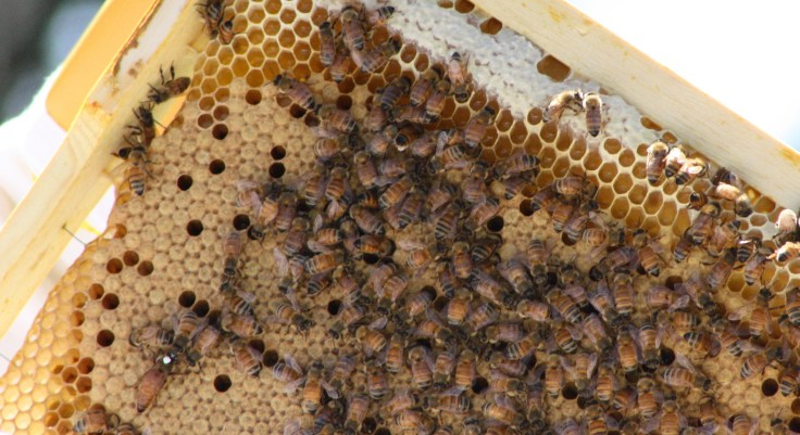 Queen on brood frame