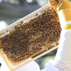 Bees on a full depth frame
