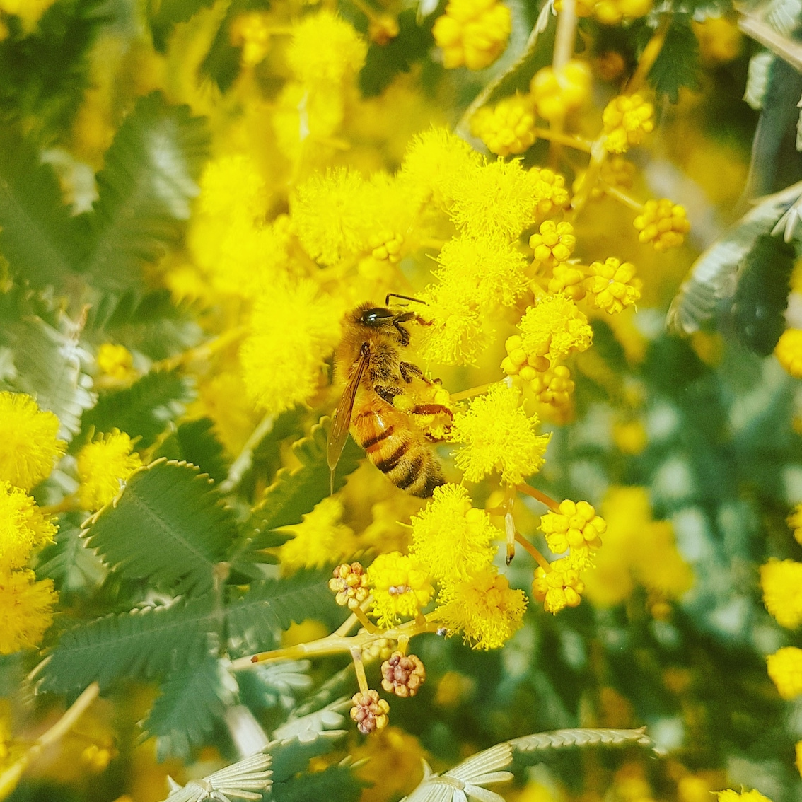 A bee on a wattle at the beginning of spring
