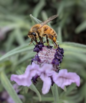 Zoomed in photo of bee on lavender