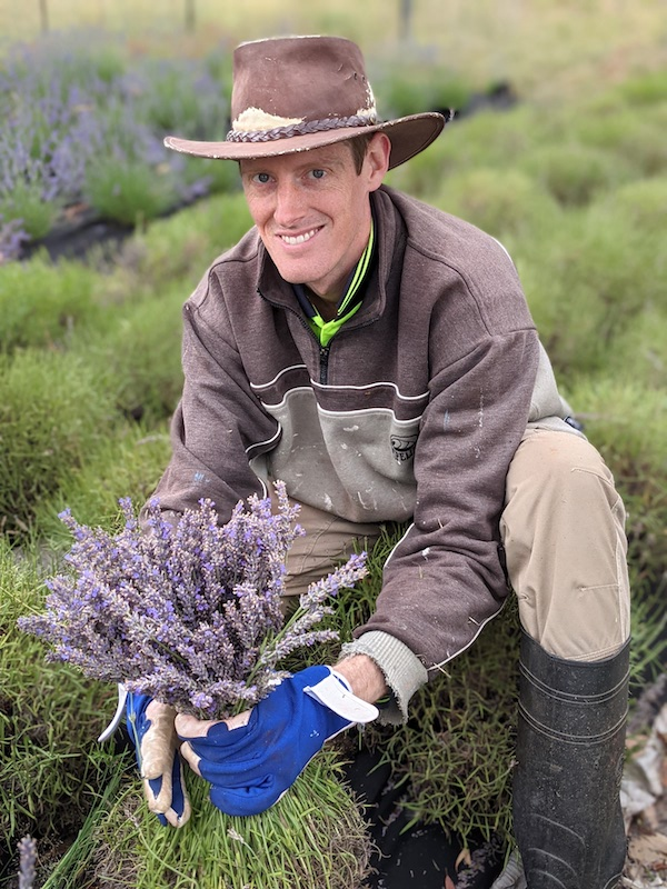 Harvesting lavender by hand