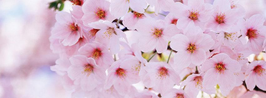 cherry_blossom_facebook_tim