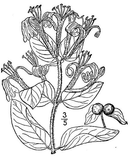 NameThatPlant.net: Lonicera japonica