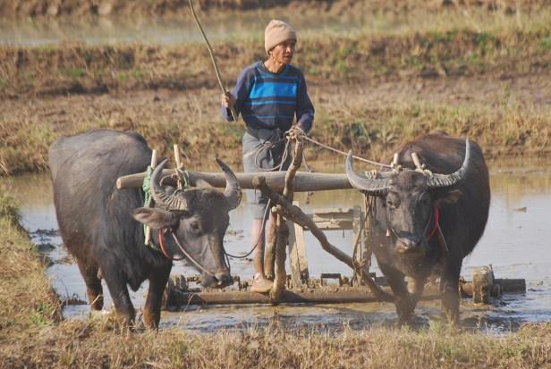 Die traditionelle Technik für die Bewirtschaftung der Reisfelder