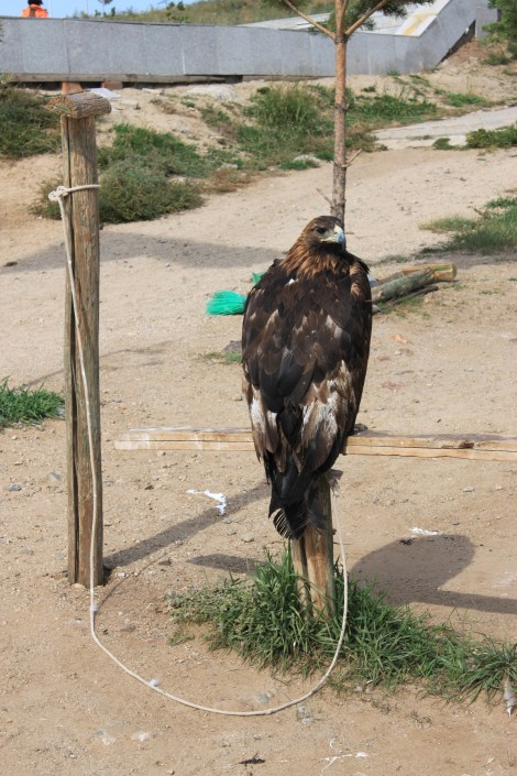 Eagles tied to a post for taking pictures ... they are heavy and terribly sad