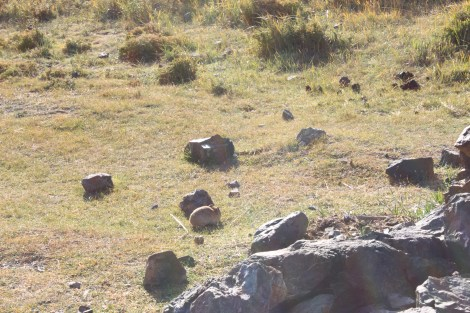 "Not all are rocks ... find the ""Piku"" :), part of the rat family"