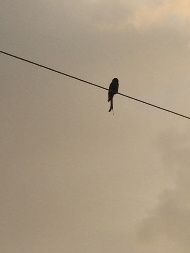 This little bird was happily chirping away and was so high up that it didn't care if I was taking a picture !