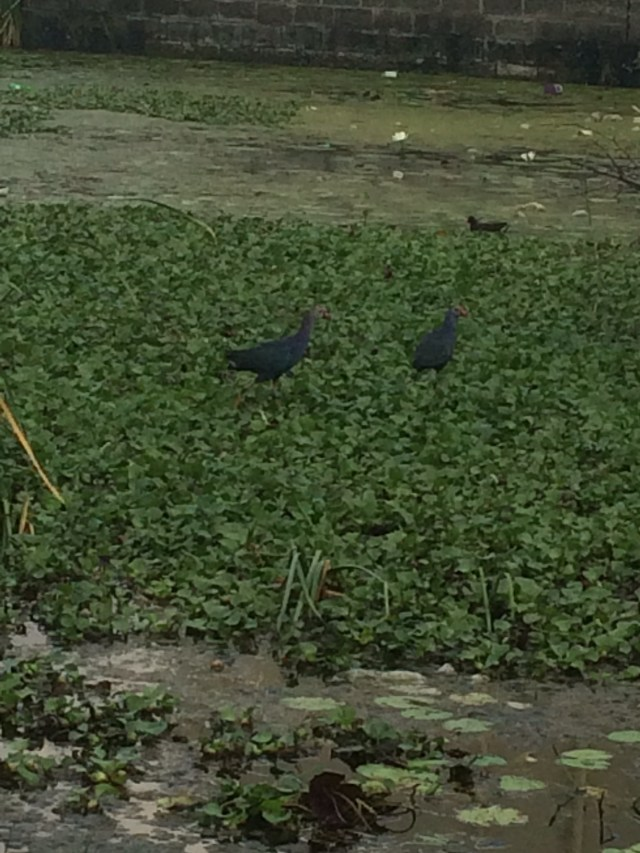 These two black/slate grey peahen type of birds are so smart that the minute I stop to take a pic they fly off and hide.