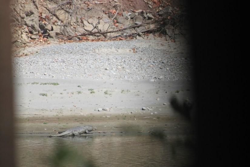 Corbett Tiger Reserve - Crocodile