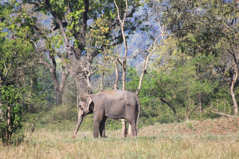 Corbett Tiger Reserve - Elephant