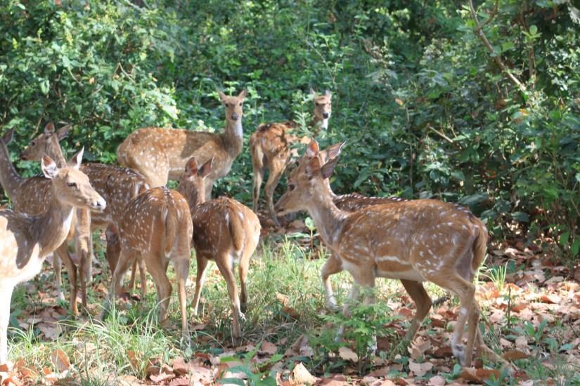 Corbett Tiger reserve - Deer