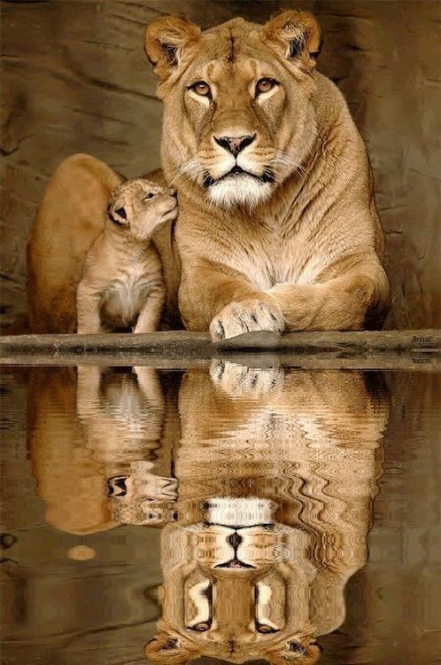 judah lion jacob blessing lioness whelp pup genesis