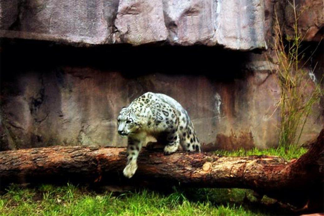 El leopardo de las nieves actualmente está clasificado como especie en peligro de extinción.