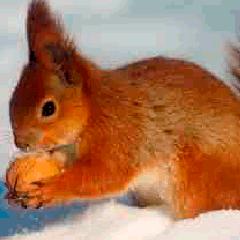 94 nut squirrel picture