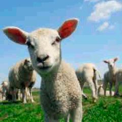 94 lamb picture
