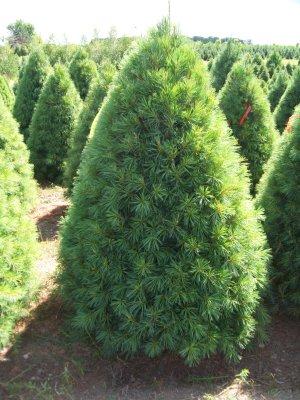Decorated White Pine Christmas Tree