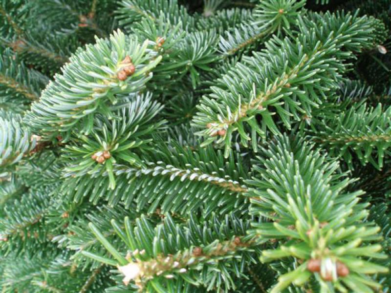 Real Christmas Tree Varieties Madison WI