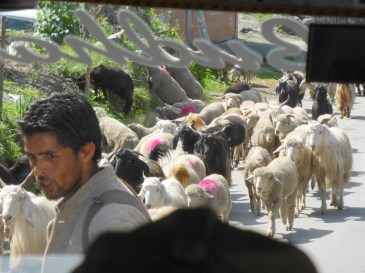 herding sheep on road