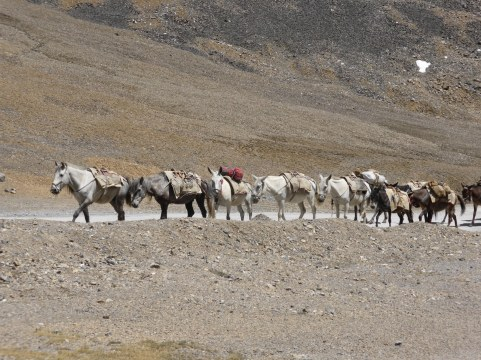 mule train