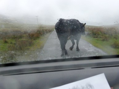 wet cow on road through windscreen